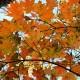 Liberty Maple in autumn glory